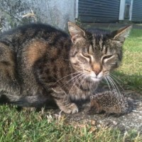 Lost from strong road, dark tabby cat
